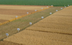Wheat Field Day